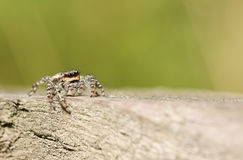 A sweet Jumping Spider Marpissa muscosa. Stock Photography