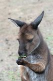 Sweet kangaroo. From Kangaroo Island eating eucalyptus leaf; kangaroos from Kangaroo Island are quite dark Stock Images