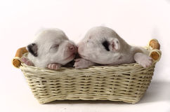 Sweet kiss. Two tiny puppies in the basket Royalty Free Stock Images