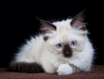 Sweet kitten Royalty Free Stock Images