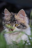 Sweet kitty behind grass Royalty Free Stock Photos