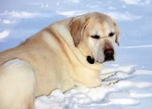 Sweet labrador retriever playing in snow, beautiful best dog royalty free stock images