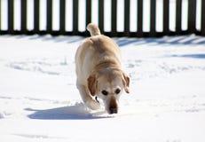 Sweet labrador retriever playing in snow, beautiful best dog. Sweet labrador retriever playing in snow, beautiful dog best friend royalty free stock photos