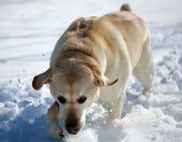 Sweet labrador retriever playing in snow, beautiful best dog. Sweet labrador retriever playing in snow, beautiful dog best friend royalty free stock image