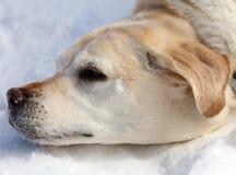 Sweet labrador retriever playing in snow, beautiful best dog. Sweet labrador retriever playing in snow, beautiful dog best friend royalty free stock photo