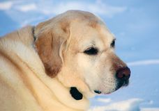 Sweet labrador retriever playing in snow, beautiful best dog royalty free stock photo