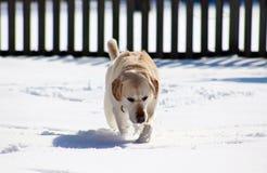 Sweet labrador retriever playing in snow, beautiful best dog. Sweet labrador retriever playing in snow, beautiful dog best friend stock photos