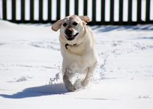 Sweet labrador retriever playing in snow, beautiful best dog. Sweet labrador retriever playing in snow, beautiful dog best friend stock photography