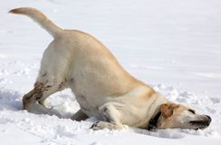 Sweet labrador retriever playing in snow, beautiful best dog. Sweet labrador retriever playing in snow, beautiful dog best friend royalty free stock photography