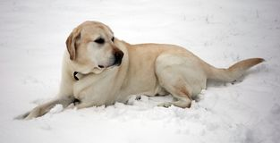 Sweet labrador retriever playing in snow, beautiful best dog stock photography