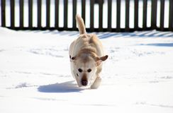 Sweet labrador retriever playing in snow, beautiful best dog. Sweet labrador retriever playing in snow, beautiful dog best friend stock images