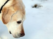Sweet labrador retriever playing in snow, beautiful best dog. Sweet labrador retriever playing in snow, beautiful dog best friend royalty free stock images
