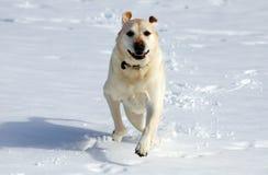 Sweet labrador retriever playing in snow, beautiful best dog. Sweet labrador retriever playing in snow, beautiful dog best friend stock image