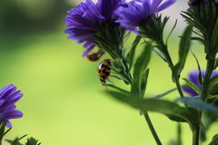 Sweet Ladybugs Royalty Free Stock Photos