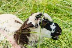 Sweet Lamb pasture field lying stock photo