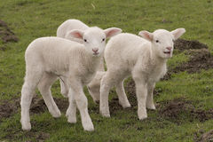 Sweet lambs Stock Photo