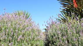Sweet Lavender And Leaves With Clear blue sky. Blooming Aromatic Light Violet Lavender With Clean Blue Sky During Winter In South Africa royalty free stock image