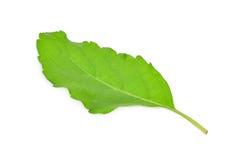 Sweet leaf Basil isolated on white. Background Royalty Free Stock Images