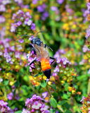 Sweet like honey. A bug is collecting pollinic Stock Photos