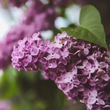 Sweet Lilac on the green background. Sweet Lilac. Lilac flowers. Green branch with spring lilac flowers royalty free stock image