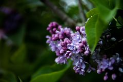Sweet Lilac on the green background. Sweet Lilac. Lilac flowers royalty free stock photos