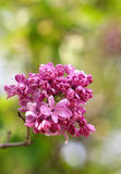 Sweet lilac on green background. Purple flowers with bokeh. Spring, lilac bush, vertical frame, closeup, Isolated Stock Photography