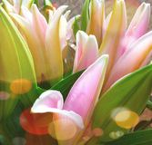 lilly pink background bg Royalty Free Stock Image