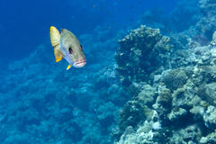 Sweet lips fish yellow and grey in the reef background Stock Photography