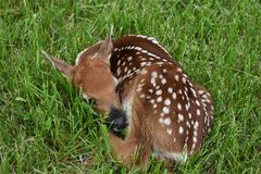 Baby deer royalty free stock photography