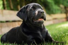 A sweet little black Labrador Retriever puppy royalty free stock photos
