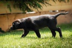 A sweet little black Labrador Retriever puppy stock photo
