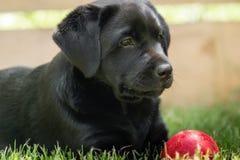 A sweet little black Labrador Retriever puppy stock images