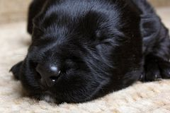 Sweet little black Scottish Terrier puppy Stock Images