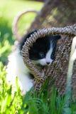 Sweet little black and white  kitten. Sweet little black and white kitten  in the backyard Royalty Free Stock Images