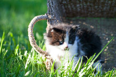 Sweet little black and white kitten in the basket. On the backyard Royalty Free Stock Photography