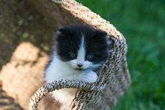 Sweet little black and white kitten in the basket. On the backyard in the sun light Royalty Free Stock Photo