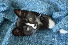 Sweet little black and white short hair kitten sleeping and playing in a blue domestic blanket Stock Image