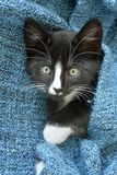 Sweet little black and white short hair kitten sleeping and playing in a blue domestic blanket royalty free stock image