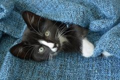 Sweet little black and white short hair kitten sleeping and playing in a blue domestic blanket Royalty Free Stock Images