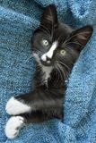 Sweet little black and white short hair kitten sleeping and playing in a blue domestic blanket Stock Photos