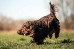 A sweet little brown Cocker Spaniel outside royalty free stock images