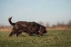 A sweet little brown Cocker Spaniel outside royalty free stock photos