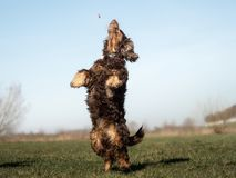 A sweet little brown Cocker Spaniel outside stock images