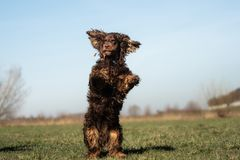 A sweet little brown Cocker Spaniel outside stock photography