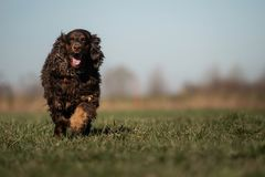 A sweet little brown Cocker Spaniel outside royalty free stock image