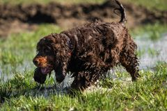A sweet little brown Cocker Spaniel outside royalty free stock photography