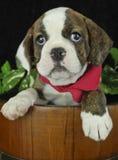 Sweet Little Bulldog Puppy Royalty Free Stock Photos