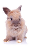 Sweet little bunny posing for the camera Stock Images