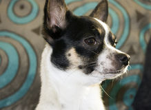 Sweet little chihuahua Royalty Free Stock Image