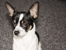 Sweet little chihuahua Royalty Free Stock Images